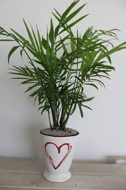 indoor palm indoor plant of the month for february mini u0027love palm u0027 life is