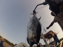 cape cod bay giant tuna fishing during october