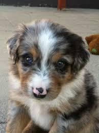 corgi x australian shepherd this dog is adorable i think it u0027s an australian shepherd tiny