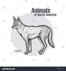 coyote hand drawing animals north america stock vector 609403073