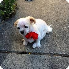bichon frise dog breeders surrey bc shih tzu bichon frise mix meet lola a dog for