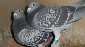 cuisine des pigeons voyageurs ce week end 800 pigeons voyageurs se posent à la fleuriaye