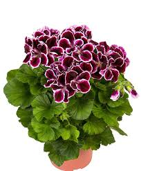 buy a container plant now geraniums in 3 varieties bakker com