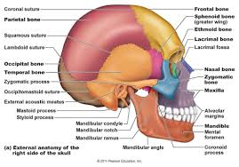 Human Ear Anatomy Quiz Anatomy And Physiology Quizzes Skeletal System At Best Anatomy Learn