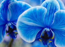 blue and purple orchids the amazing true history of orchids and what their colors