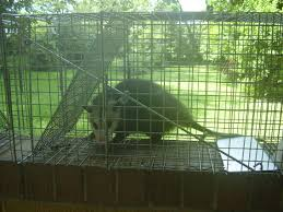 beautiful how to get rid of possums in your backyard