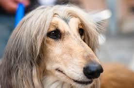 afghan hound breed afghan hounds