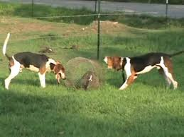 bluetick coonhound exercise tips on training arkansas coon dogs