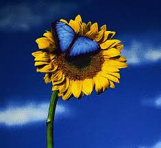 butterfly on sunflower artofgold flickr