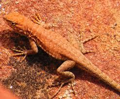 Backyard Reptiles Lizards Backyard And Beyond
