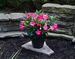 Home Depot Flower Projects - set your garden aflutter with rio dipladenia garden club
