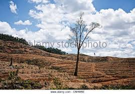 rubber tree plantation in malaysia stock photos rubber tree