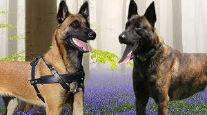 belgian sheepdog vs belgian shepherd malinois vs dutch shepherd facts avoxrottweilers learn