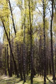 the birch tree notes from a russian garden