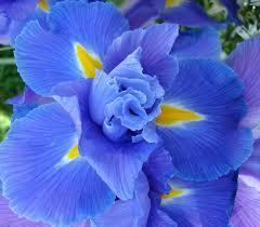 blue iris explored thank you dear flickr friends over 1 u2026 flickr