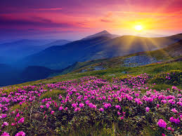 wild flowers in wild meadows meadows wild purple flowers mountains and sunset hd landscape