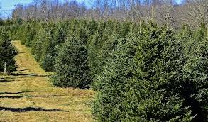 where to cut your own christmas tree in west virginia