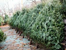 10 places to buy a tree hauppauge ny patch