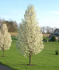 cleveland pear trees for sale kansas city mo