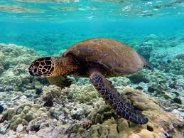 Modern sea turtles