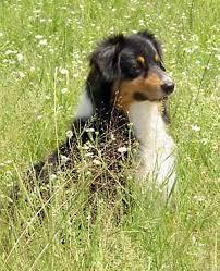 pictures of australian shepherd dogs australian shepherd pictures of dogs we love