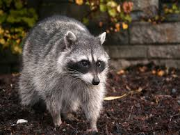How To Get Rid Of Raccoons In Backyard How To Get Rid Of Raccoons Facts Photos U0026 Control