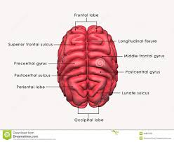 structure of brain with label articles physiological reviews
