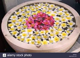 floating flowers bowl of floating flowers of frangipani stock photo 10589345