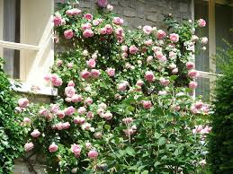 Trellis For Climbers Tips For Growing Climbing Roses Arbor Hill Trees Omaha Blogarbor