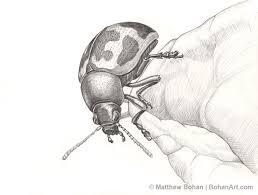 swamp milkweed leaf beetle pencil sketch p21 bohan art