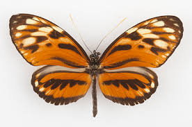 tiger heliconian butterfly in the rainforest