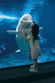 meets beluga wh amazing world beautiful amazing animaux