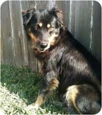 lifespan of australian shepherd australian shepherd rottweiler mix good idea karen shanley