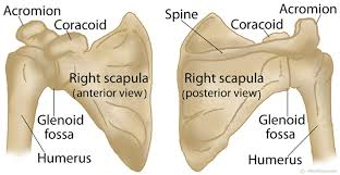 Anatomy Of Shoulder Muscles And Tendons Scapula Shoulder Blade Anatomy Muscles Location Function