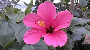 plants native to china health benefits of chinese hibiscus or china rose for body and beauty
