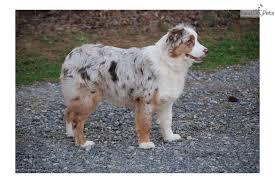 australian shepherd san diego puppies for sale from rainbow australian shepherds member since
