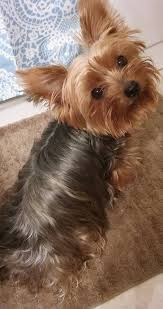 yorkie haircuts for a silky coat grooming the yorkshire terrier tips and tricks my little