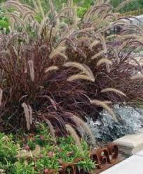purple grass ornamental grass gardentodoorstep