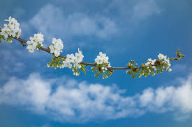 Trees With White Flowers Branch Of An Apple Tree With White Blossoms And Blue Sky