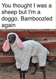 Alpaca Sheep Meme - gotcha album on imgur