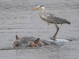 Heron Meaning by Hitching A Ride Kruger Style Wild Card