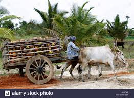 indian cart indian farmer carrying coconuts in and old cart karnataka india