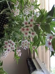 Best Fragrant Indoor Plants - best 25 hoya plants ideas on pinterest flowering house plants