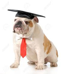 dog graduation cap pet graduation bulldog wearing graduation cap and