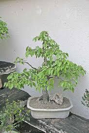 178 best bonsai images on pinterest bonsai trees bonsai garden
