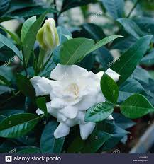 gardenia augusta syn g jasminoides cape jessamine hps069514
