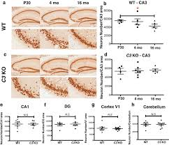 complement c3 deficient mice fail to display age related
