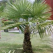 roystonea regia cuban royal palm tree ornamental