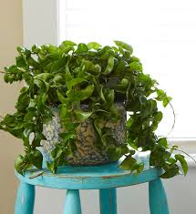 8 Houseplants That Can Survive by 11 Best Indoor Vines And Climbers You Can Grow Easily In Your Home