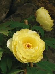 yellow peonies yellow peonies diy